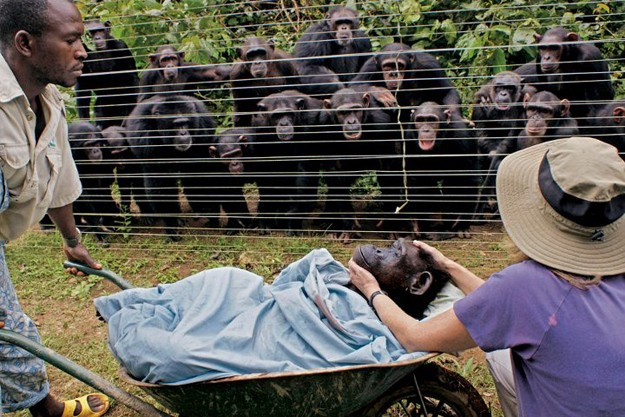 11.) Cindy was a beloved chimp amongst those at her rescue in Cameroon. When she died of heart failure, her fellow chimps consoled each other by hugging. They watched grievously as their friend was taken away.