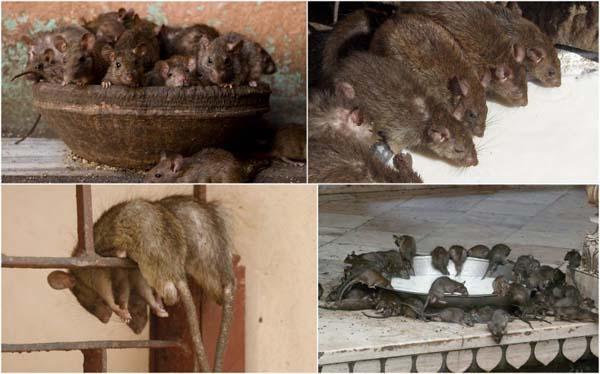 Rats. It's full of rats.