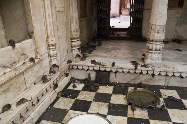 The temple honors Karni Mata, or Karniji, a female Hindu sage.